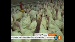 Iran Chashm village, Mehdi-Shahr county, Organic Turkey birds farming بوقلمون روستاي چشم مهدي شهر