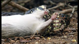 Snake Kills Rodent Which Fascinates Baby Capuchin  - Wild Brazil - BBC Earth