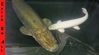 BIGGEST ONLINE FISH STORE you can VISIT and BUY! Pet ARAPAIMA!