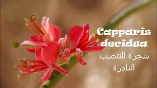 عبيد العوني  على قناة بيئتي شجر التنضب النادر الحلقة 2