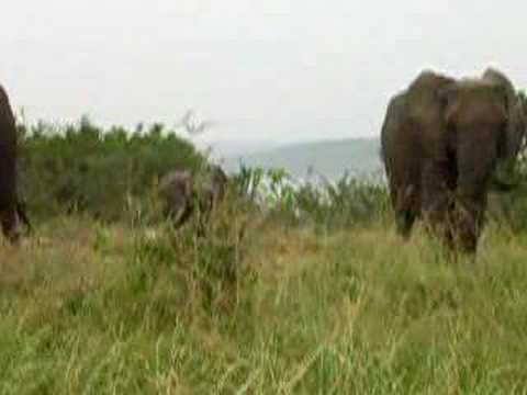 Xxx Mp4 Baby Elephant At Queen Elisabeth S Uganda 3gp Sex