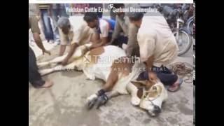 Angry cow qurbani 2016, 2017 Professional Qasai Funny Eid ul adha