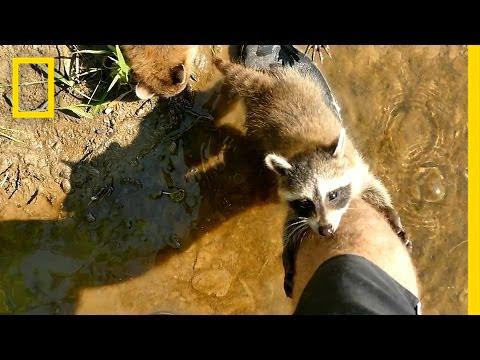 Adorable Raccoon Babies Make Human Friend National Geographic