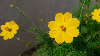 How to Grow and Care Cosmos Plant || Winter Flowering Plant || Fun Gardening || 12 Nov, 2017