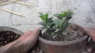 How To Normal Plant Into Bonsai Tree (Urdu/Hindi)