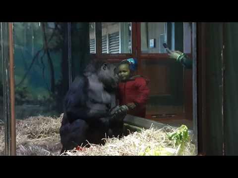 Xxx Mp4 Sweet Gorilla Paki Has Connection With Little Girl Louisville Zoo 3gp Sex