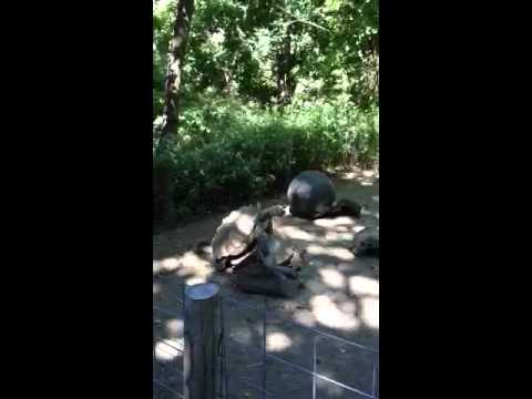 Tourtouses mating at the zoo