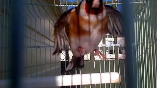 Gold Finch Switty Bird Singing Download Mp3 Mp4 3GP HD Video
