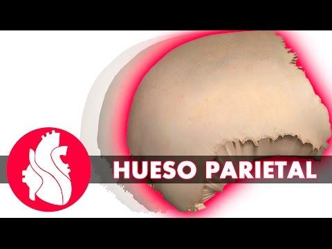 3D Osteología craneal Parietal