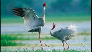 Incredibly Rare Sarus Cranes being Released into Wild in Thailand