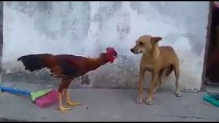 dog vs Rooster  - strict Fight
