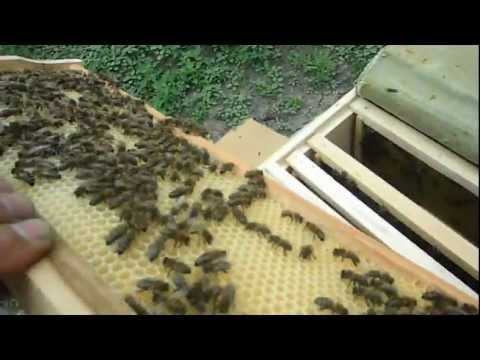 Verificarea starii familiei de albine