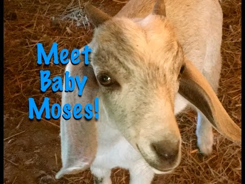 Trading Eggs For A Goat Welcome Baby Moses