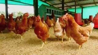 Proyecto Gallinas felices, ecológicas y sanas - Bienestar avícola - Fundases