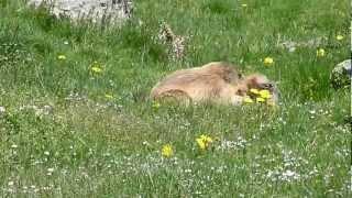 Bagarre de marmottes sur la Réserve d'Orlu