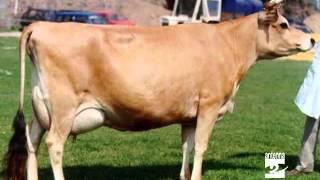 Qua la zampa la mucca Jersey Antenna 2 TV 30102012