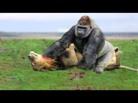 Xxx Mp4 LIVE Big Battle Of Gorilla Vs Lion Crocodile Vs Leopard Buffalo Vs Python Wild Animals 2018 3gp Sex