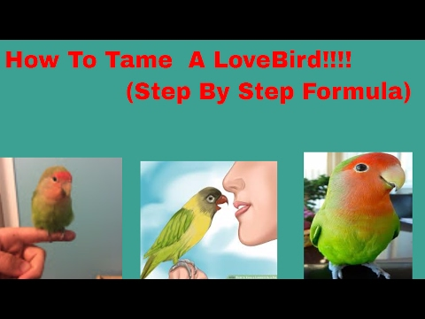 (How To) Tame Your LoveBird (Updated Version)