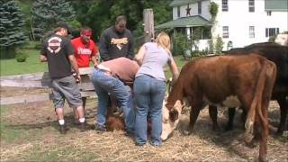 Banding Calves
