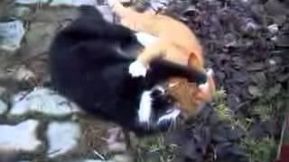Peleas de gatos