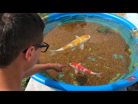 Mini POND EMERGENCY NEW COLORFUL FISH