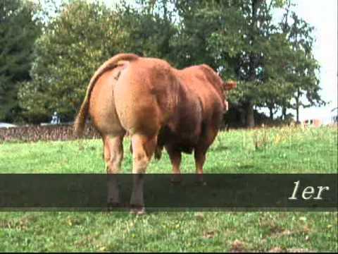 Taureau Limousin BAHUT