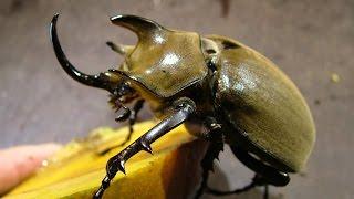 Megasoma gyas porioni - Two males