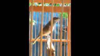 Burung Cucak Kombo Lumayan Receh Download Mp3 Mp4 3GP HD Video