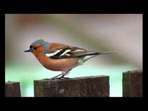 common chaffinch (Fringilla coelebs) sound  صوت الصلنج