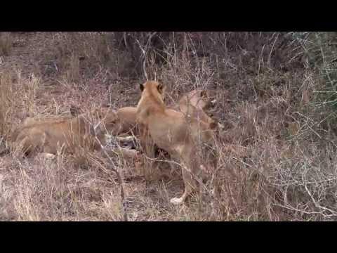 lions kills a nyala at Kirkman's kamp