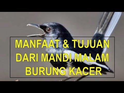 Terbongkar! Manfaat Dan Tujuan Mandi Malam Untuk Burung Kacer