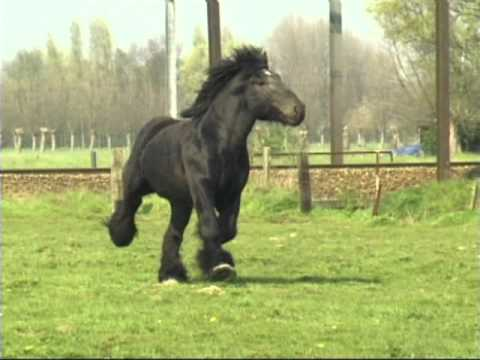 Simon van Straten Beautiful Belgian Draft Horse