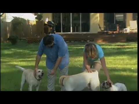 Yellow Lab OUT OF CONTROL gets trained .Amazing New You Network