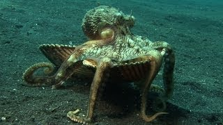 """Introducing """"Kleptopus"""", The Shell-Stealing Veined Octopus"""