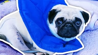 What happened to Ellie the Pug?
