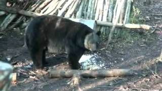 Monster Black Bear 21 12/16 B&C Skull Hunting with Mike's Outfitting