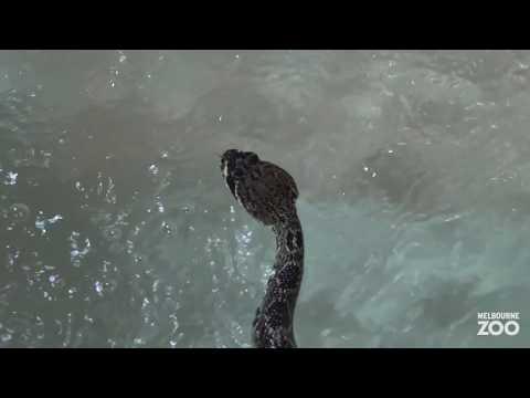 Xxx Mp4 Reptile Swim Gym At Melbourne Zoo 3gp Sex
