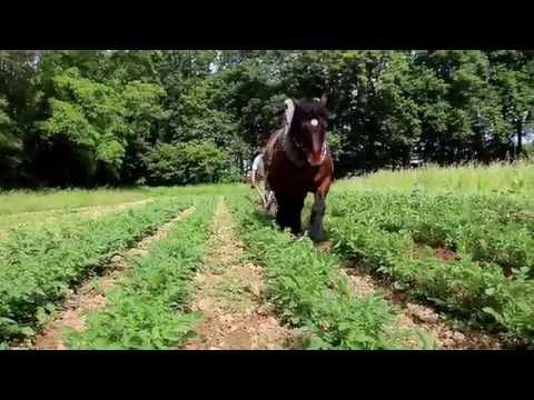 Buttage des pommes de terre au cheval de trait