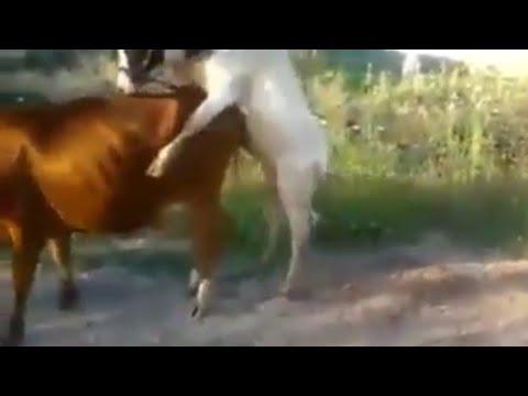 Xxx Mp4 গরুর উপর গরু উঠে যা করলো ভিডিও টি একবার দেখুন Bangla Funny Videos 2018 Hd In Cow TopNews24 3gp Sex