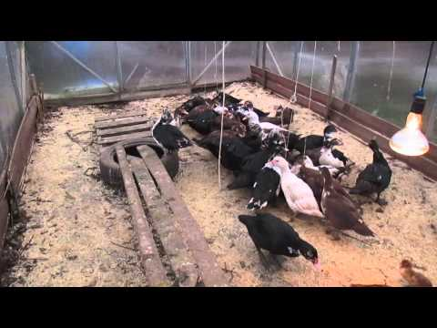 Выращивание индоуток на мясо для себя 488