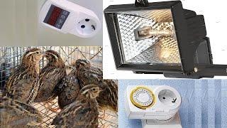 Day and night at quail farm