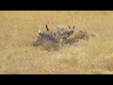 African Wild Dog eat warthog alive