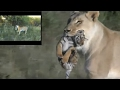 Download Video Download Lioness helps tigress to raise cubs 3GP MP4 FLV