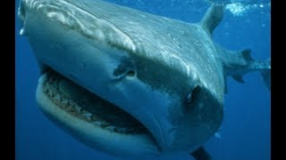 Tiger Shark - Legendary Thug Of The Sea