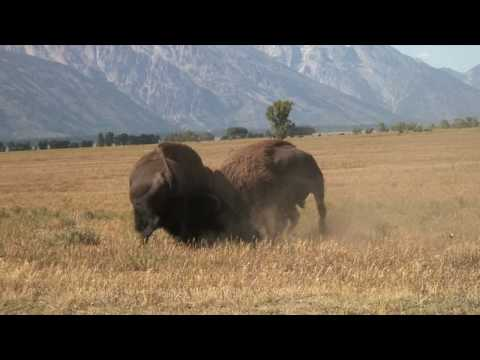 Incredible Bison Battle