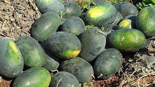 Watermelon Harvesting | Amazing Watermelon Farming Techniques in India, तरबूज की खेती