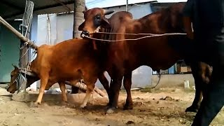Matings Cows - Comfortable Cows Face Matings ★ Life of Cows✔