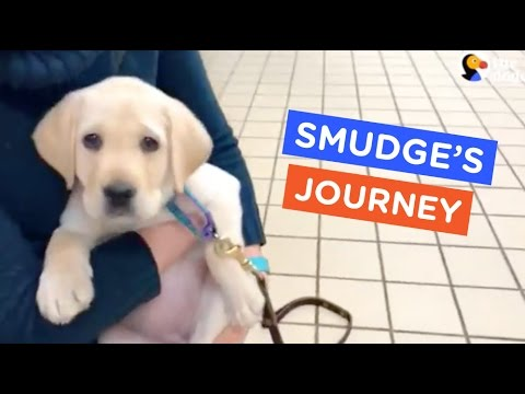 A Guide Dog s Life Smudge s Journey Ep. 7 The Dodo