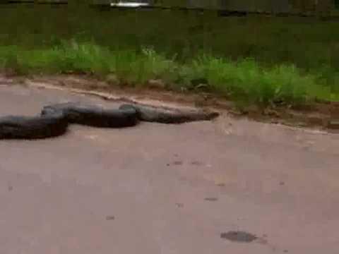 Huge Anaconda stops traffic crossing road