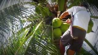 A Coconut from the tree to your hands  at La Cocotera Eco Boutique Hotel
